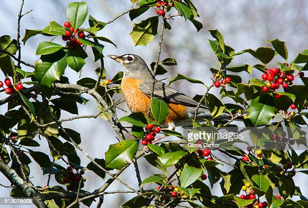 American Robin in a holly tree, surrounded by holly berries