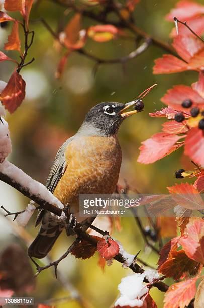 american robin (turdus migratorius), male eating berries of black hawthorn (crataegus douglasii), fallcolors, grand teton national park, wyoming, usa - may flowers stock pictures, royalty-free photos & images