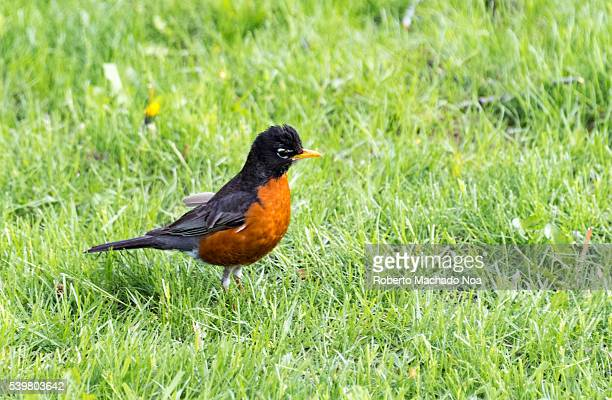 American Robin or Turdus migratorius in the ground Small bird walking on grass Beautiful birds are a typical view of the spring season