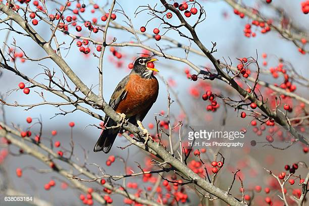 American Robin perched in Hawthorn Tree