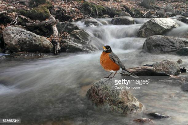 American Robin perched on a rock along a stream