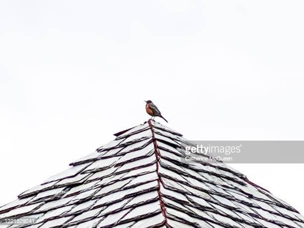 american robin perched on top pointed slate roof - tordo bottaccio foto e immagini stock
