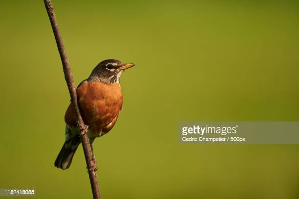 american robin (turdus migratorius) perching on branch - american robin stock pictures, royalty-free photos & images
