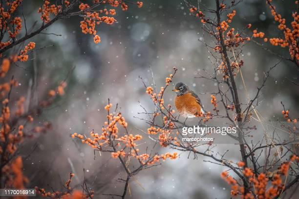 american robin - pettirosso foto e immagini stock
