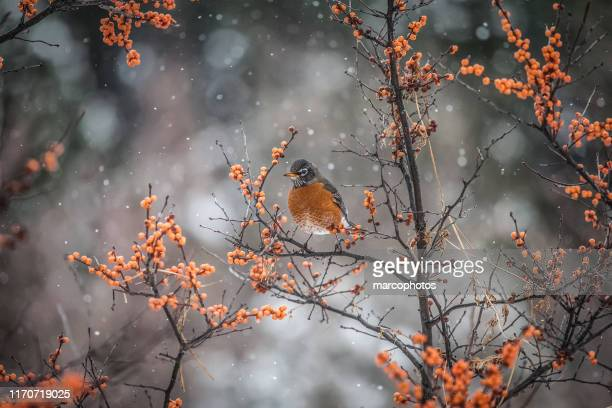 american robin - thrush stock pictures, royalty-free photos & images