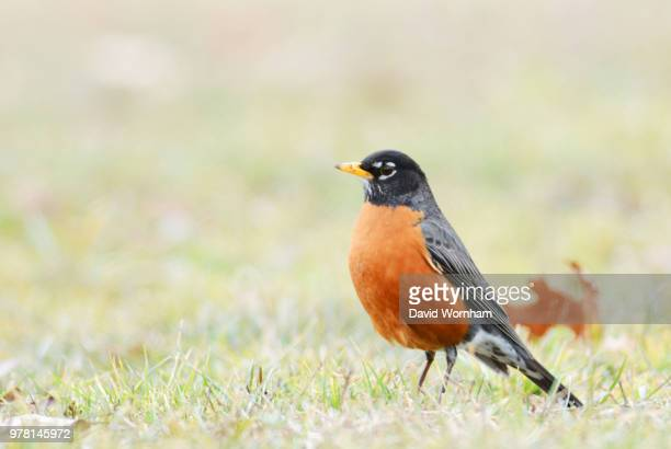american robin (turdus migratorius) - american robin stock pictures, royalty-free photos & images