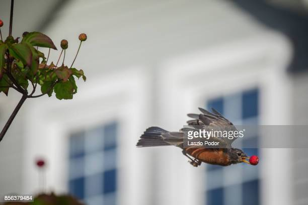 American Robin with fruit