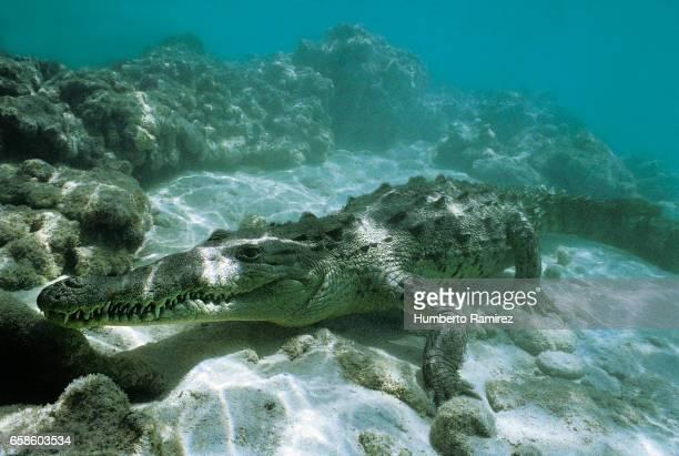 American saltwater alligator