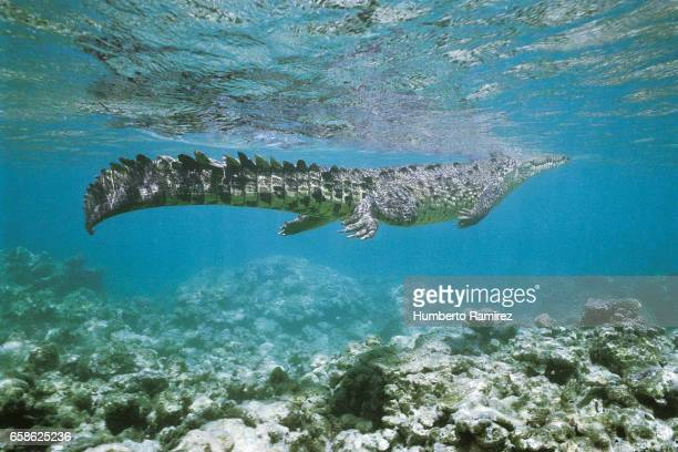 American saltwater alligator swimming.