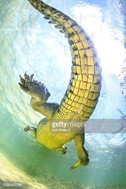 american saltwater crocodile, underbelly. chinchorro banks, mexico - animal digestive system stock photos and pictures