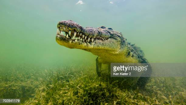american saltwater crocodile, underwater view - crocodile stock pictures, royalty-free photos & images