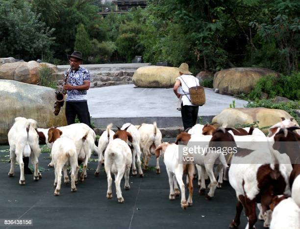 American saxophonist/songwriter Kirk Whalum practices saxophone on Songshan Mountain and attracts a flock of sheep in Dengfeng on August 19 2017 in...