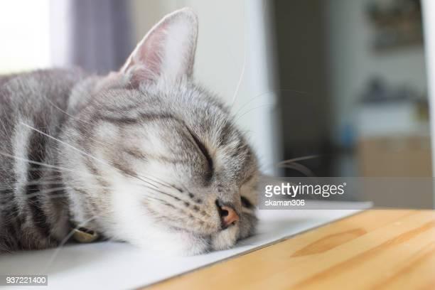 american short hair cat sleep - formato de alta definição - fotografias e filmes do acervo