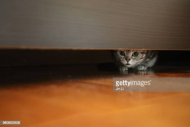 a american shorthair cat is hiding herself under bed - cat hiding under bed stock pictures, royalty-free photos & images