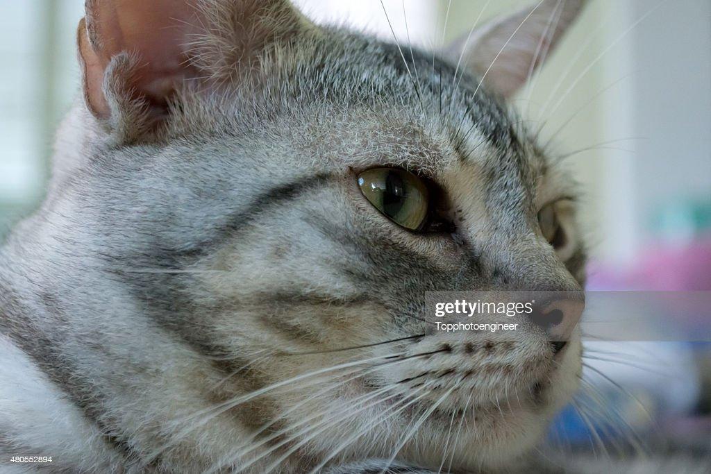 American gato de pelo corto está deseosa : Foto de stock