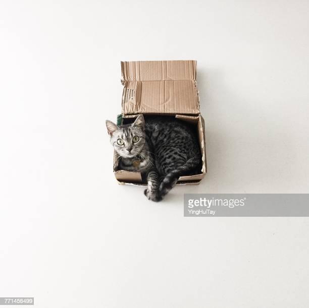 American shorthair cat lying in a cardboard box