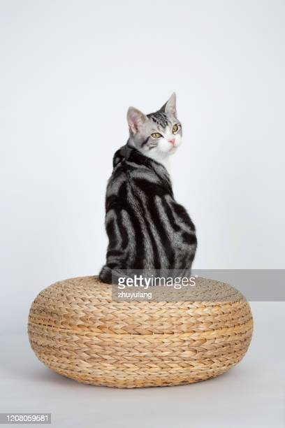 american shorthair cat - plain background stock pictures, royalty-free photos & images