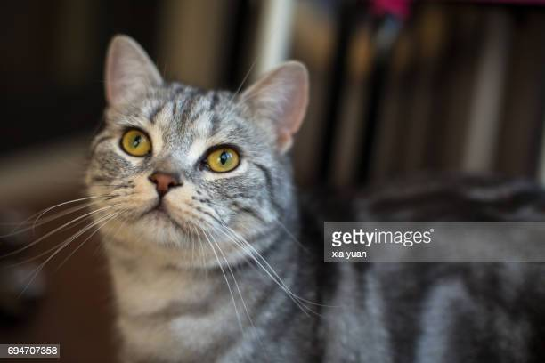 american shorthair cat - shorthair cat stock pictures, royalty-free photos & images