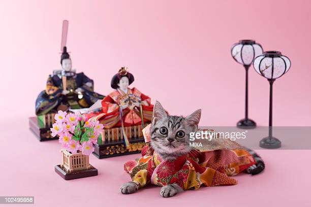 american shorthair kitten and hinamatsuri doll - hinamatsuri stock pictures, royalty-free photos & images