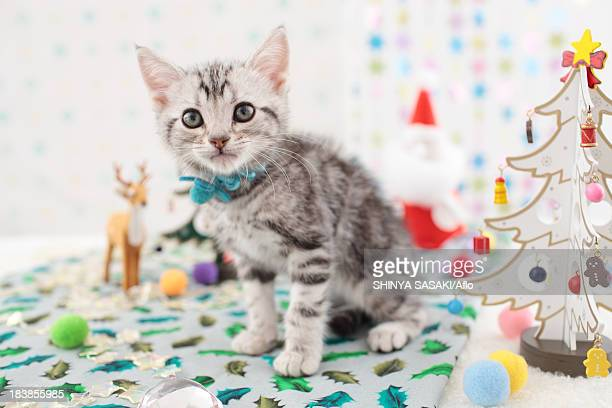 american shorthair - christmas kittens stock pictures, royalty-free photos & images