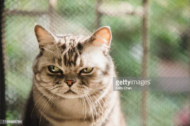 american shorthair striped cat with a dissatisfied face - funny cats photos et images de collection