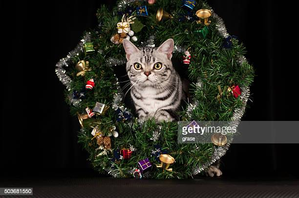 American shorthaired cat in Christmas decoration at studio