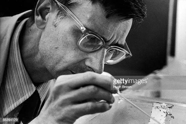 American sociobiologist E. O. Wilson studies fire ants in the insectary at Harvard University, Cambridge, Massachusetts, September 8, 1975.