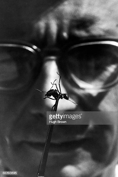 American sociobiologist E. O. Wilson uses a paor of tweezers to hold up an ant at Harvard University, Cambridge, Massachusetts, September 8, 1975.