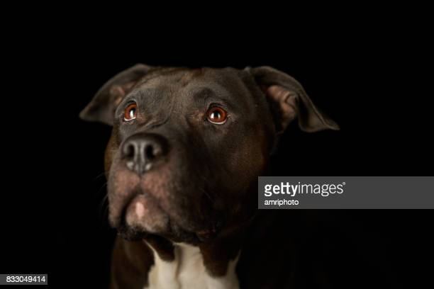 american stafford dog face - pit bull terrier stock photos and pictures