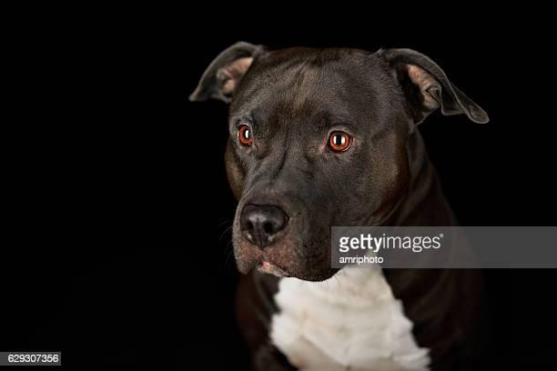american stafford pitbull dog