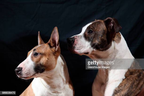 american staffordshire and bull terrier dogs - american staffordshire terrier stockfoto's en -beelden