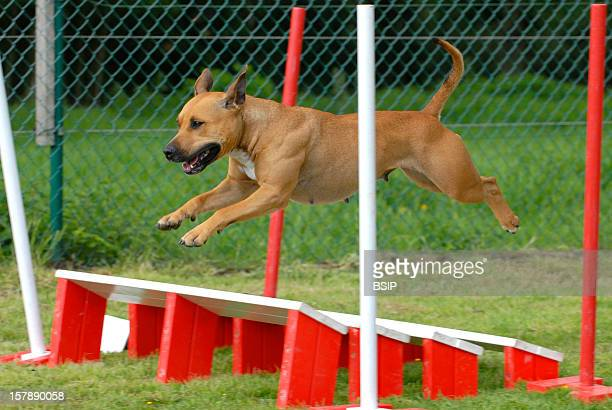 American Staffordshire Terrier Adult Female Domestic Dog Agility Obstacle American Staffordshire Terrier Adultcanis Lupus Familiaris Domestic Dog Dog...