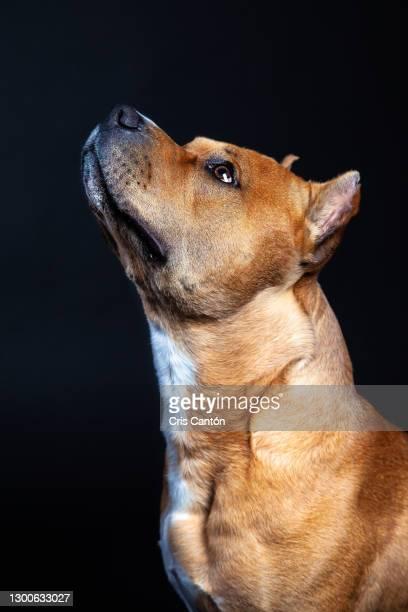 american staffordshire terrier dog looking up - cris cantón photography fotografías e imágenes de stock