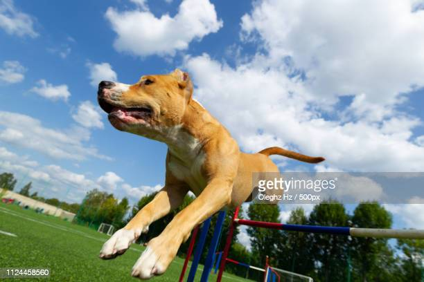 American Staffordshire Terrier Dog On A Summer Day