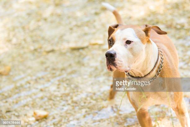 American staffordshire terrier dog water.