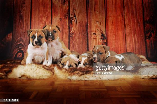 American Staffordshire Terrier, group of puppies 4 weeks, red-white, lying on fur blanket, Austria