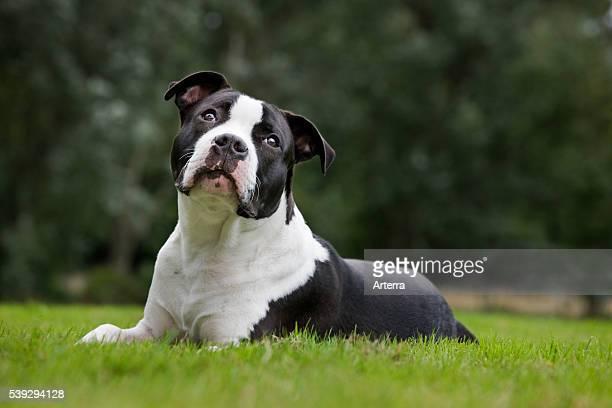 American Staffordshire terrier in garden