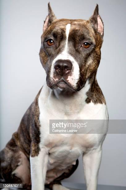 american staffordshire terrier looking at camera with serious look in studio - american staffordshire terrier stockfoto's en -beelden