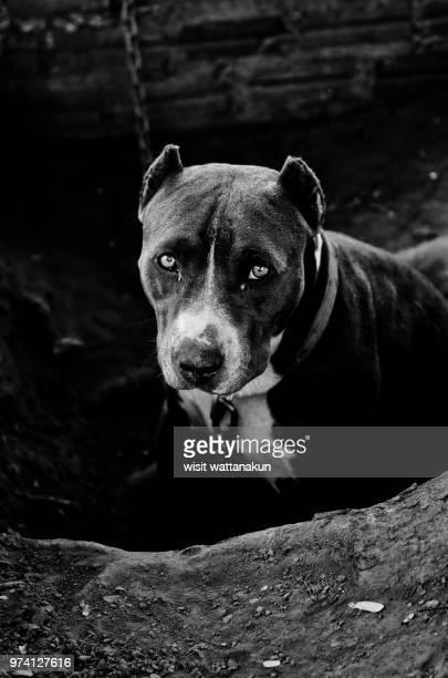 American Staffordshire Terrier on chain, Khon Kaen Province, Thailand