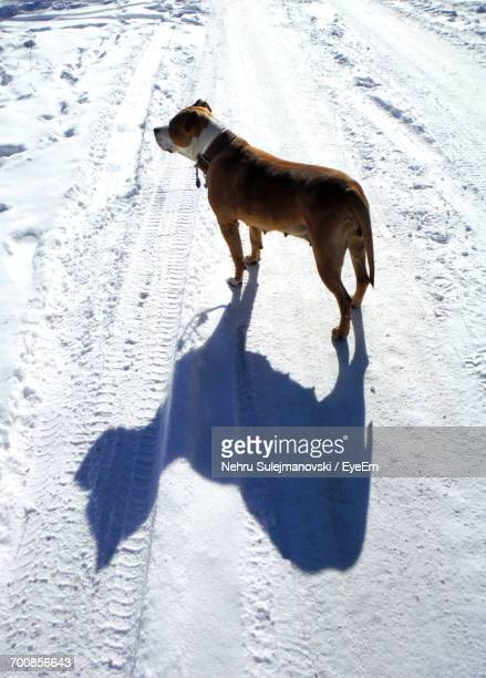 american staffordshire terrier on snow - american staffordshire terrier stockfoto's en -beelden