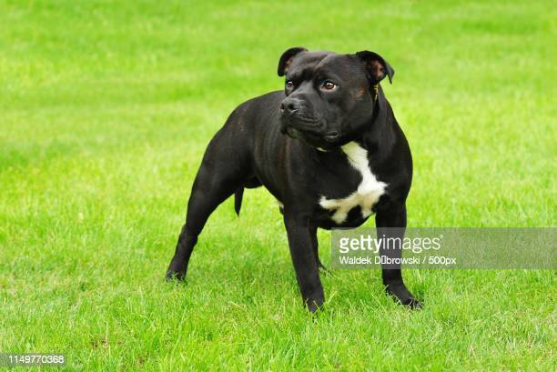 american staffordshire terrier - american staffordshire terrier stockfoto's en -beelden