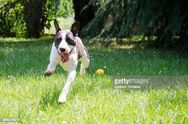 american staffordshire terrier plaing in the garden with yellow ball
