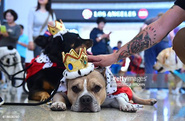 American Staffordshire Terrier Pup dressed lik a king is pet while resting the international departures terminal at Los Angeles International Airport...