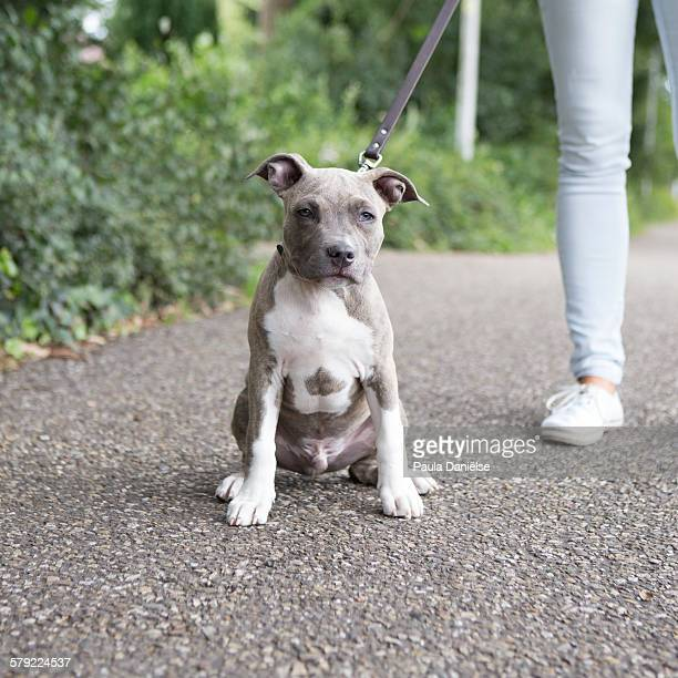 american staffordshire terrier pup - american staffordshire terrier stock photos and pictures