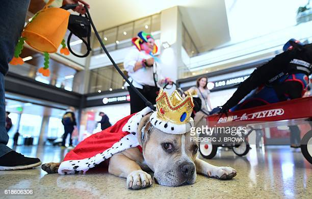 American Staffordshire Terrier Pup takes a rest from walking through the international departures terminal at the Los Angeles International Airport...