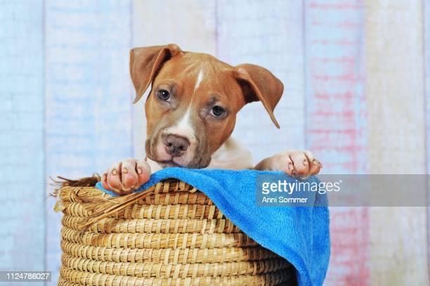 American Staffordshire Terrier, puppy 11 weeks, red white, sitting in basket, Austria