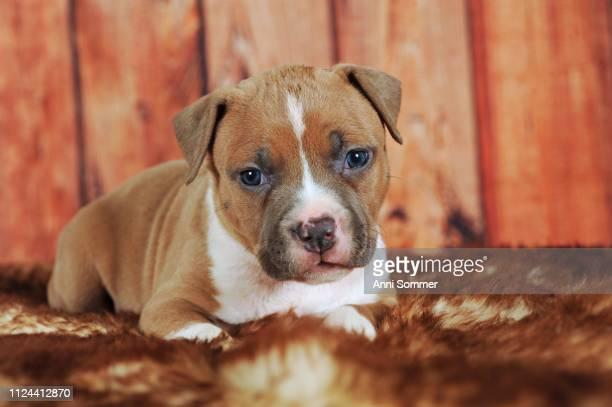 American Staffordshire Terrier, puppy 4 weeks, red-white, lies on fur blanket, Austria