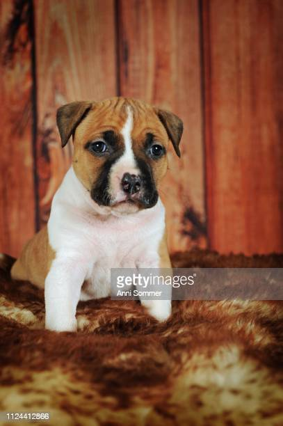 American Staffordshire Terrier, puppy 4 weeks, red-white, sits on fur blanket, Austria