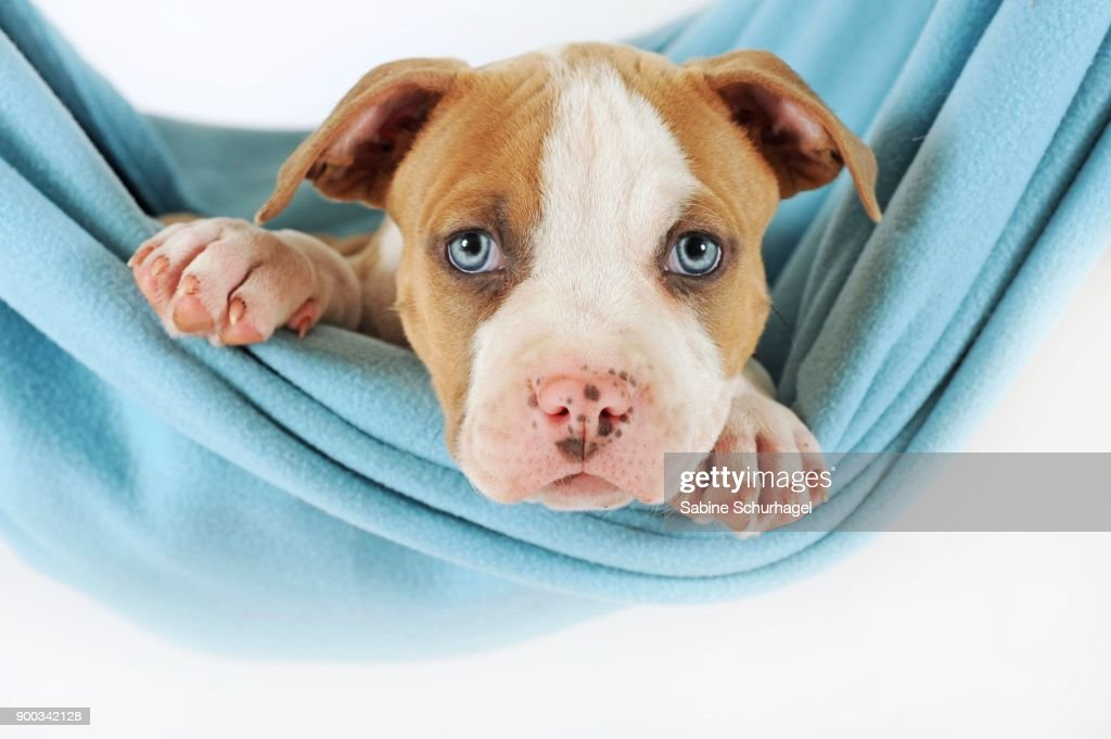 American Staffordshire Terrier Puppy 7