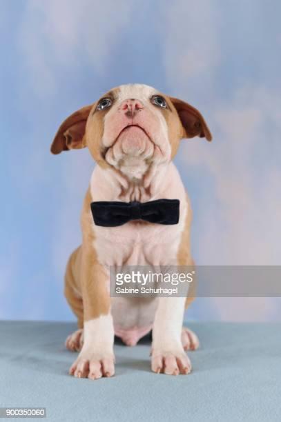 american staffordshire terrier, puppy, 7 weeks old, fawn-white - american staffordshire terrier stockfoto's en -beelden